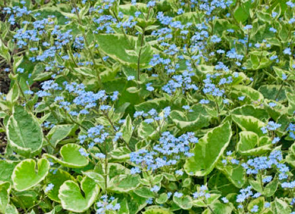 Brunnera m. 'Hadspen Cream'