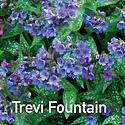 Pulmonaria Trevi Fountain - Lungwort CU.