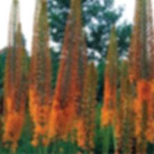Eremurus Cleopatra - Foxtail Lily.jpg