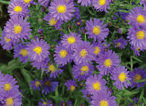 Aster 'Kickin' Lilac Blue'