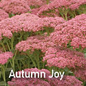 Sedum Autumn Joy - Stonecrop