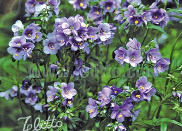 Polemonium y. 'Purple Rain'