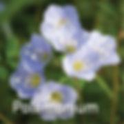 Polemonium reptans - Jacob's Ladder