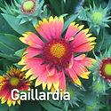 Gaillardia Goblin - Blanket Flower.jpeg