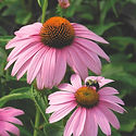 Echinacea p. Magnus - Coneflower.jpeg