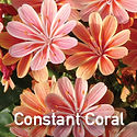 Lewisia Constant Coral - Cliff Maids