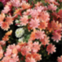 Lewisia Constant Coral - Cliff Maids.jpg