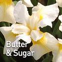 Iris s. Butter & Sugar - Siberian Iris.j