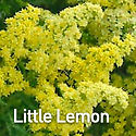 Solidago Little Lemon - Goldenrod.jpeg