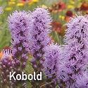 Liatris spicata Kobold - Blazing Star