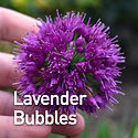 Allium Lavender Bubbles - Ornamental Oni