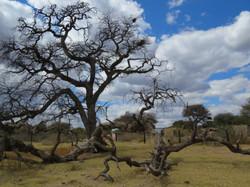 Ngauzepo – the hanging tree