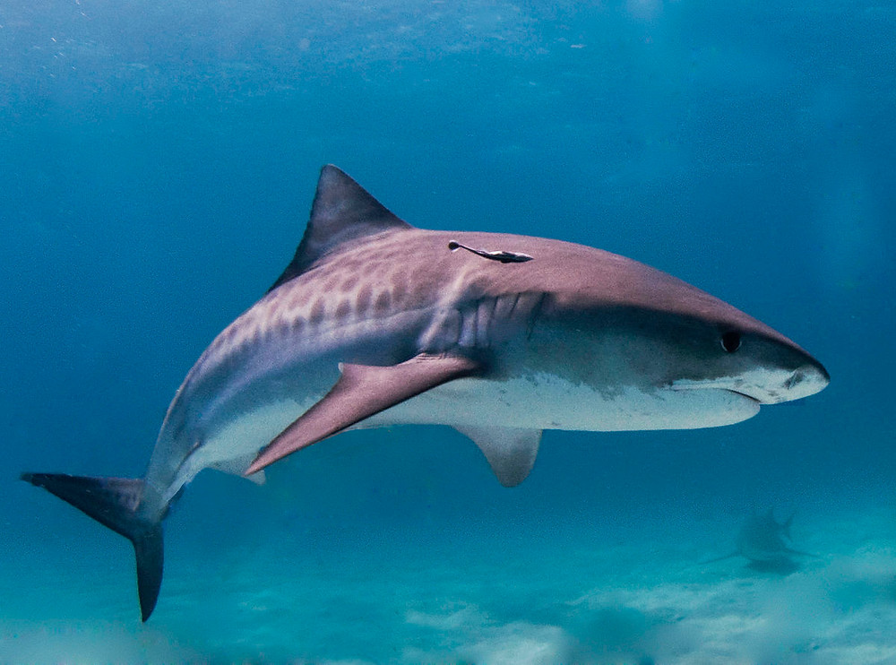 Tiger sharks like this one are among the fittest of all species.