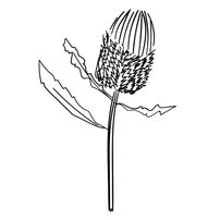 Banksia_black.jpg