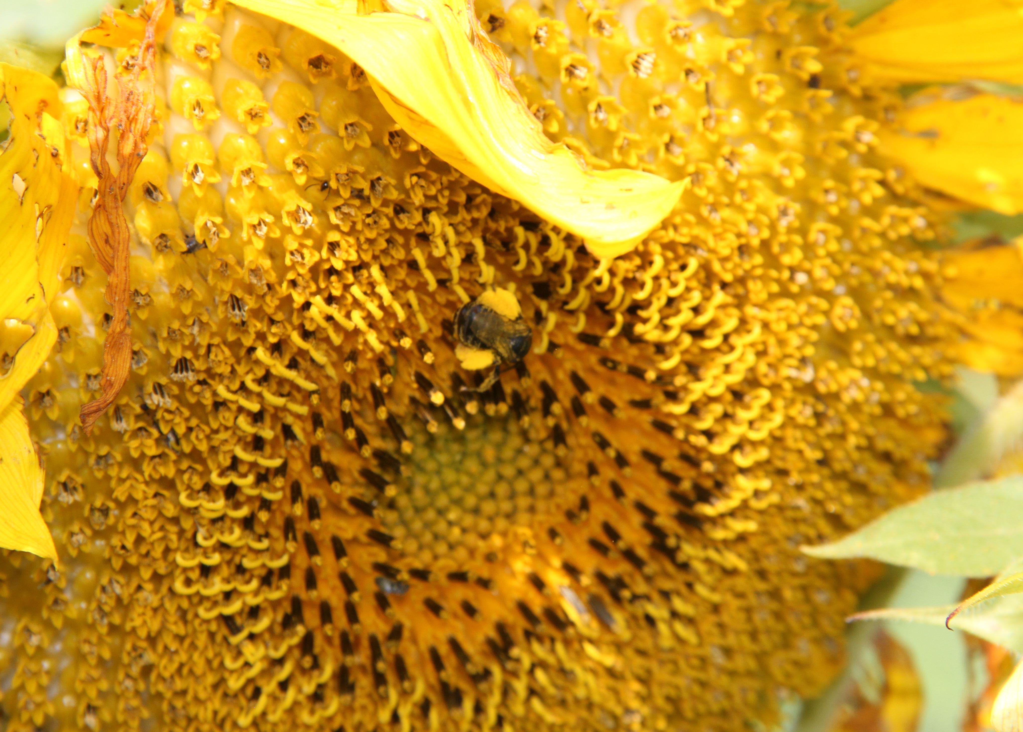 Honey Bee and pollen.