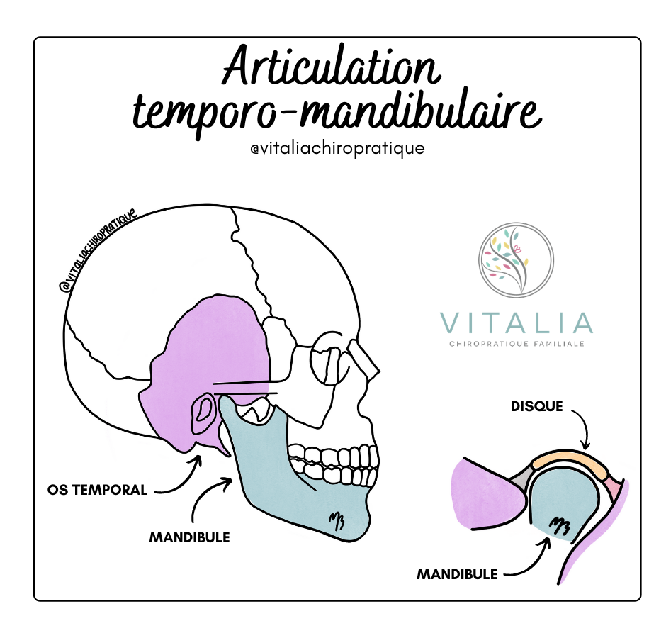 Articulation tempo-mandibulaire ; ATM ; Mâchoire ; Mandibule