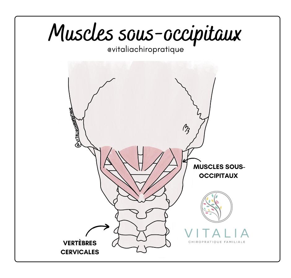 Musles sous-occipitaux ; céphalée de tension
