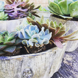 Succulents! Get your Succulents!  Contact me for pricing and details