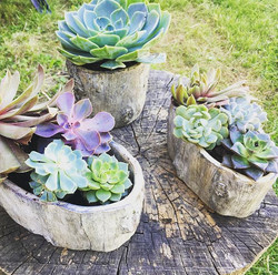 Succulents sold individually or in arrangements