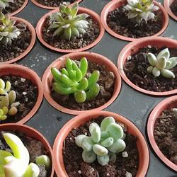 Mini Succulents _#succulents $4 each order today