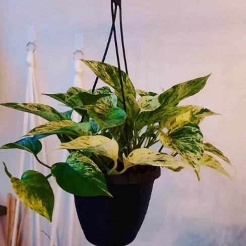 Marble Queen Potosi Hanging basket