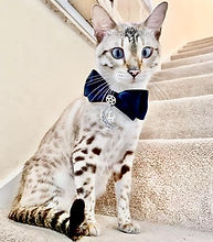 cat wearing blue ribbon and half moon collar
