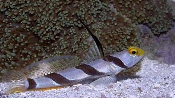 Hifin or Black Stripe Shrimp Goby