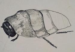 Madagascar Hissing Cockroach - Initial