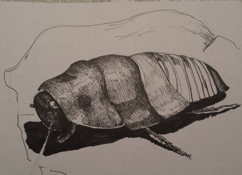 Madagascar Hissing Cockroach - Mid