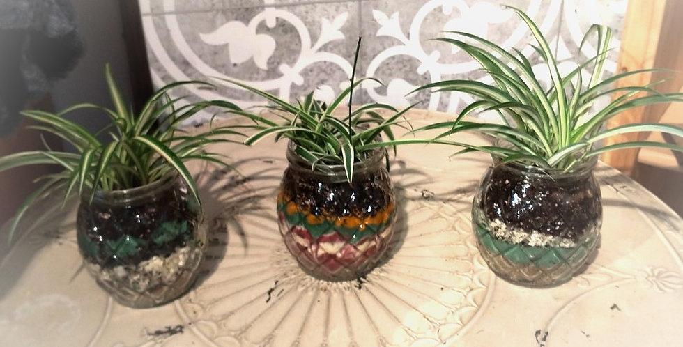 Terrarium Ananas - Plante araignée