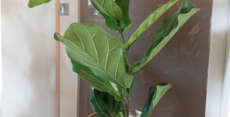 Plant de ficus lyrata grand