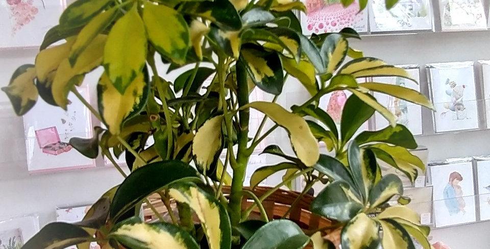 """Shefflera Gold Capella - 6"""""""