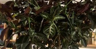 Ruellia de 6 pouces