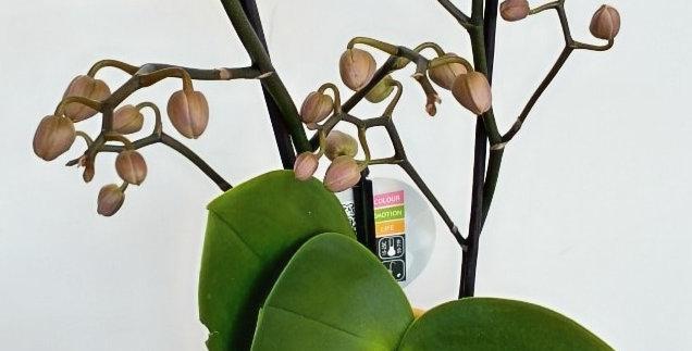 Orchidée phalaenopsis - 6 pouces