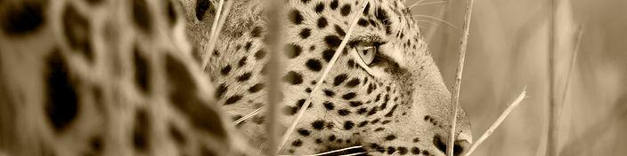 Leopard 3 Sepia.jpg