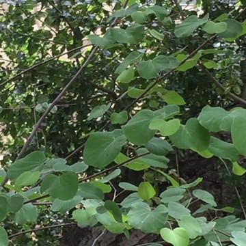 Oak titmouse fledgling