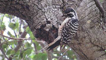 Nuttall's woodpecker_GLC_Henry Zylstra.J