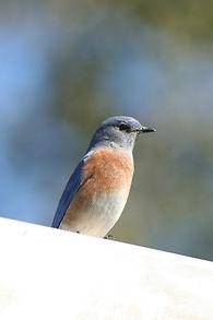 western bluebird 10-29-11.JPG