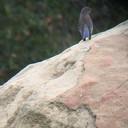 Western bluebird fledgling