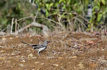northern mockingbird_croppped.jpeg
