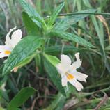 Southern Bush Monkey Flower