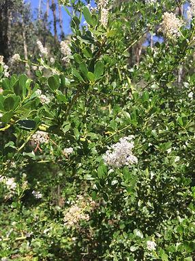 greenbark ceanothus--add to website.JPG