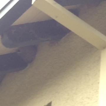 Western bluebird provisioning nestlings