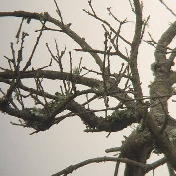 Nuttall's Woodpecker