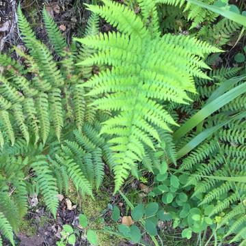California Wood Fern