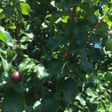 Hollyleaf Cherry