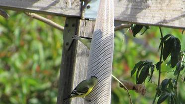 goldfinches_Westmont Garden.JPG