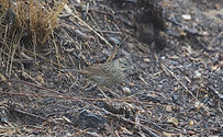 lincoln's sparrow_cropped.jpeg