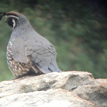 California quail fledgling