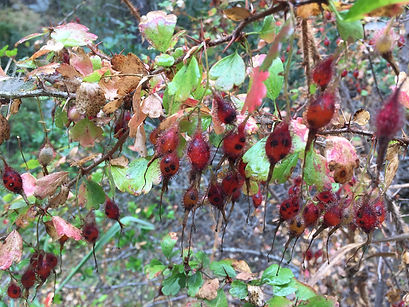 fuchsia-flowered gooseberry --add to web